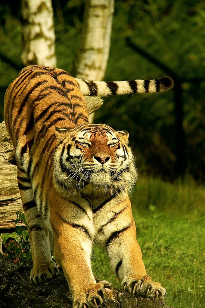 Tigre s'étirant